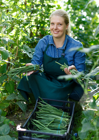 Positive woman farmer harvesting green beans while gardening in glasshouse