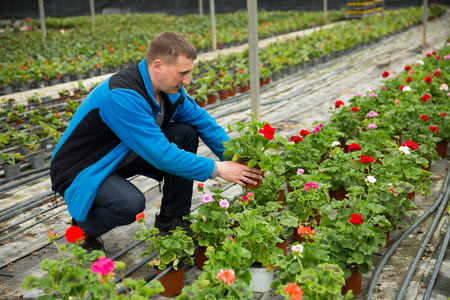 Portraoit of man gardener working with crane's-bill flowers  in greenhouse