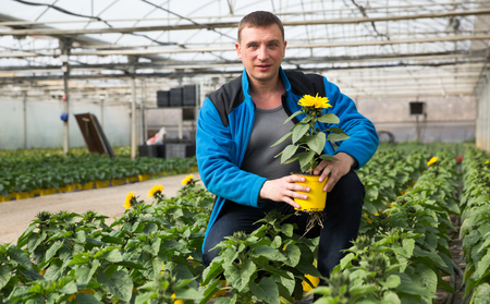 Experienced worker of glasshouse arranging pots with blooming decorative sunflowers 免版税图像