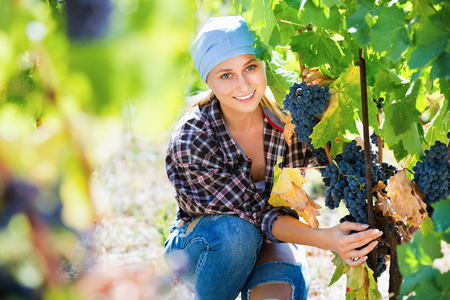Happy diligent vineyard female staff cutting clusters of wine grape Stock Photo