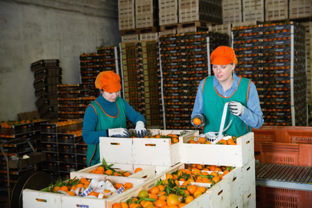 Two diligent positive cheerful smiling female employees of fruit warehouse in colored uniform labeling fresh ripe mandarins in crates