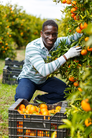 Smiling African-American farmer harvesting ripe mandarin oranges on citrus plantation
