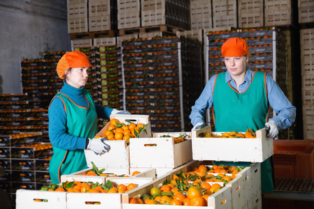 Focused diligent positive  women working at citrus warehouse, checking and marking tangerines in boxes