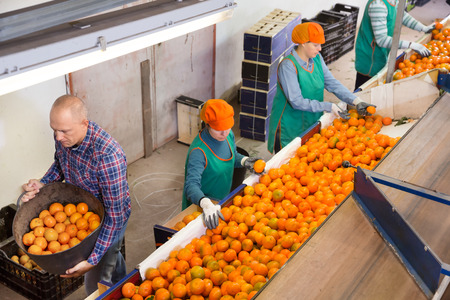 Female and male employees working on producing sorting line at a fruit warehouse, preparing the mandarins for packaging and storing Banque d'images