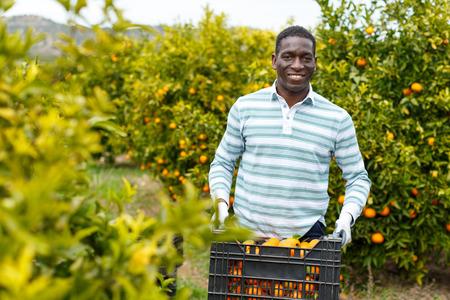 Confiado agricultor afroamericano llevando una caja de plástico llena de mandarinas maduras en una plantación de cítricos