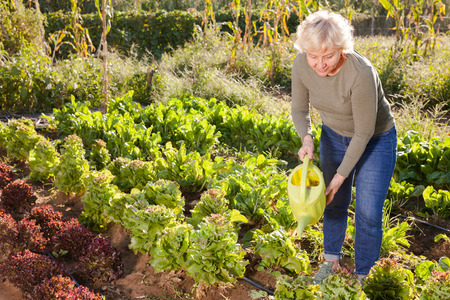 Senior woman watering beds of greens with watering can in backyard garden