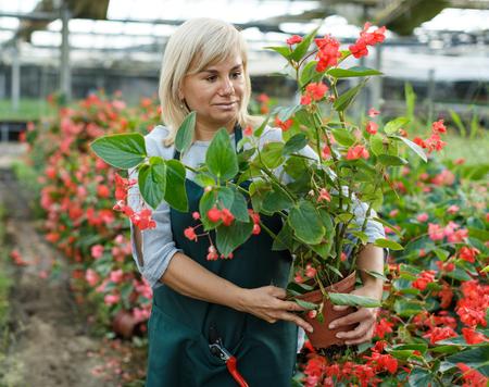 Reife Frau Floristin in Schürze im Garten rote Begonienpflanzen in Töpfen im Gewächshaus Standard-Bild