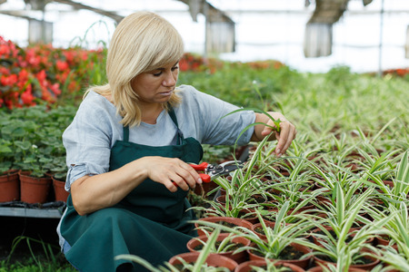 Mature woman with scissors  trimming  plants of cinta  while gardening in greenhouse Imagens