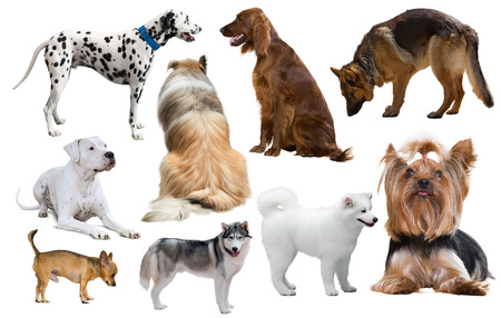 set of different purebred dogs isolated on white background Foto de archivo