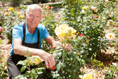 Cheerful mature man cutting with scissors roses bushes at flower bed on sunny day
