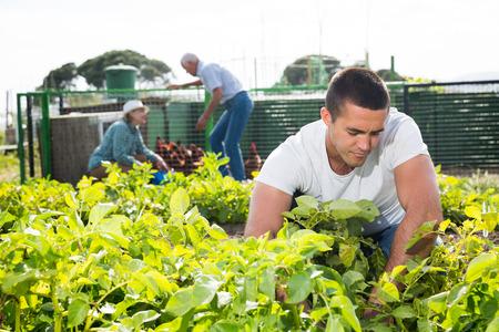 Le fils adulte, avec ses parents, désherbe les pommes de terre sur le terrain Banque d'images