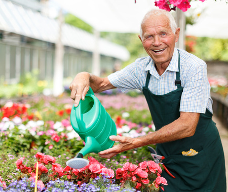 Successful skilled senior florist taking care of flowers in greenhouse, watering plants in sunny day