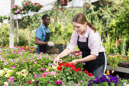 Young experienced female worker gardening in glasshouse, checking flowers Stock Photo