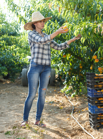 Young attractive woman farmer harvesting ripe peaches in fruit garden