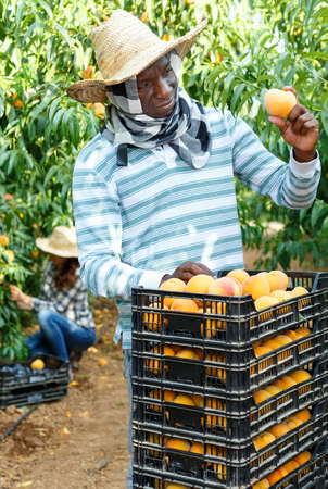 Successful cheerful positive smiling  male owner of orchard gathering harvest of ripe peaches on sunny day