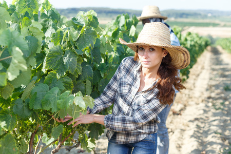 Young woman farmer working in sunny vineyard with male assistant, controlling grapes ripening