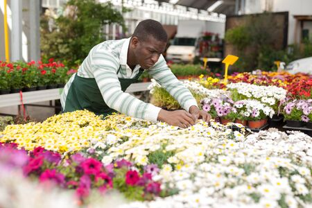 Skilled African American man owner of hothouse checking potted plants of flowering colorful marguerites