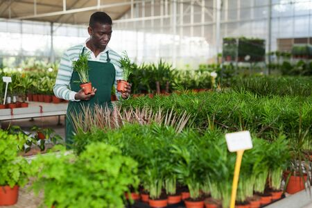 Experienced African American male florist engaged in cultivation of potted Chamaedorea elegans in greenhouse 写真素材