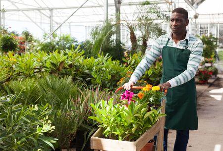 Erfolgreicher afroamerikanischer Gärtner, der im Gewächshaus arbeitet und Wagen mit blühenden Topfpflanzen schiebt
