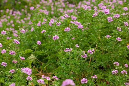 Beautiful flowers of grassy plant violet Geranium meadow outdoor