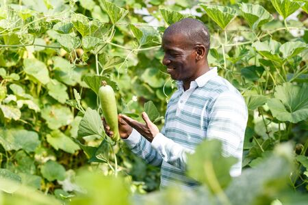 Successful African-American farmer working in greenhouse, engaged in cultivation of organic courgettes Banque d'images