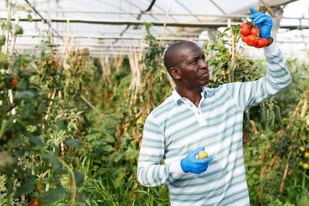 Successful skilled male farmer checking bushes and harvest of tomato plants in hothouse Archivio Fotografico
