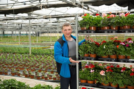 Positive man gardener examining  plants of geranium for better growing in greenhouse 免版税图像