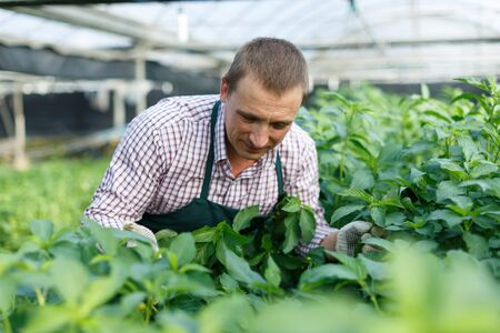 Portrait of man gardener working with white jute herbs in sunny hothouse Stock Photo