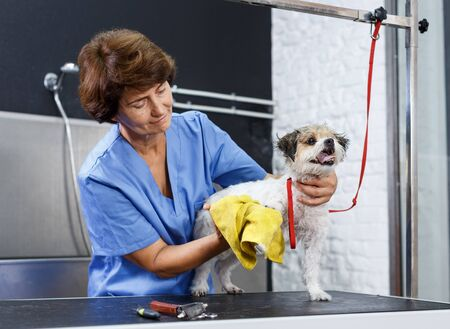 Senior female groomer drying hair of havanese puppy with towel after washing in salon for dogs Standard-Bild