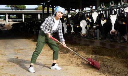 Young Chinese woman owner of small dairy farm working in stall, feeding cows