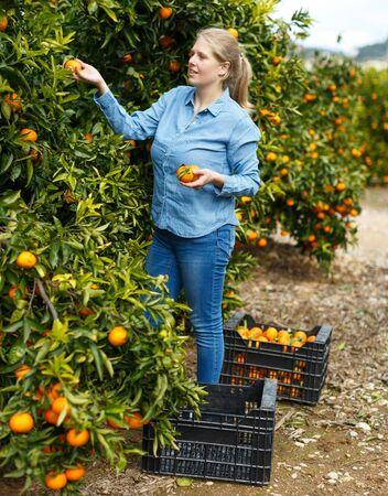 Young attractive woman farmer harvesting ripe mandarins on citrus farm
