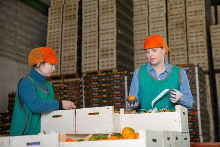 Focused diligent positive smiling women working at citrus warehouse, checking and marking tangerines in boxes Archivio Fotografico