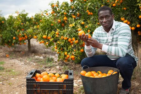 Positive afro male farmer picking carefully ripe mandarins in crate on plantation Imagens