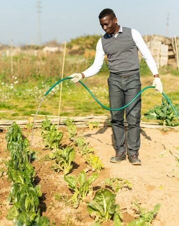 African-American man watering Swiss chard at smallholding in springtime