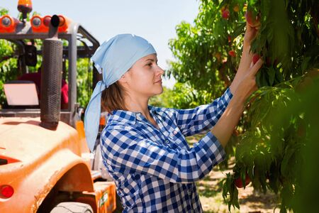 Young diligent efficient positive  attractive woman farmer harvesting ripe peaches on fruit plantation