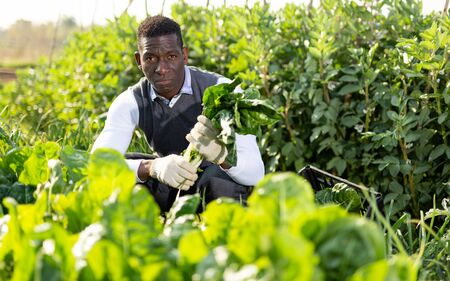 African-American man working at smallholding, harvesting tender Swiss chard