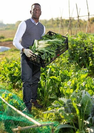 African-American man gathering in crops of young chard plants on homestead garden, standing with plastic crate