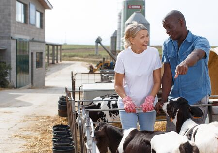 Smiling man and woman farmers  taking care young cattles at the cow farm  outdoor