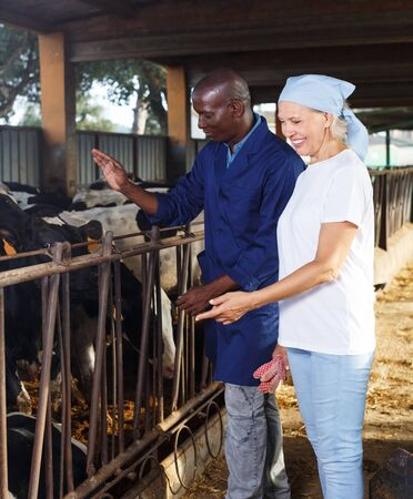 Senior woman and African American man working with cows on dairy farm