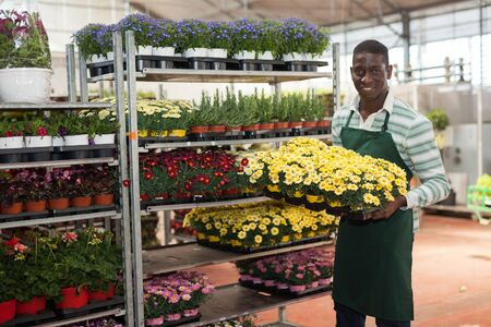 Smiling African American man owner of glasshouse holding tray with flowering Argyranthemum in pots, satisfied with his plants