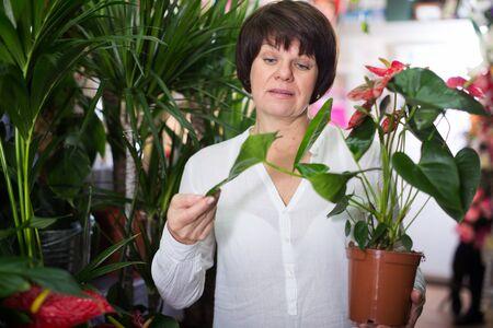 Woman customer choosing red anturion to buy in flower shop 写真素材
