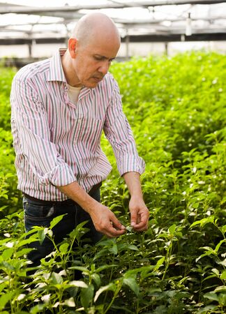 Friendly owner of hothouse inspecting quality of growing white jute plants
