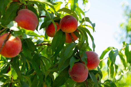 Close up of ripe peaches on trees on sunny day