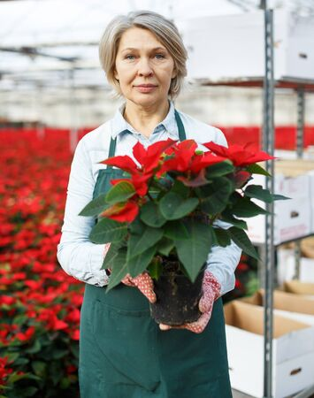 Portrait of joyful mature female florist with red Christmas star in hands on plantation of poinsettia in greenhouse