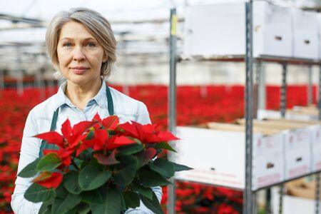 Mature woman florist holding potted Euphorbia pulcherrima (poinsettia) in glasshouse, satisfied with her plants
