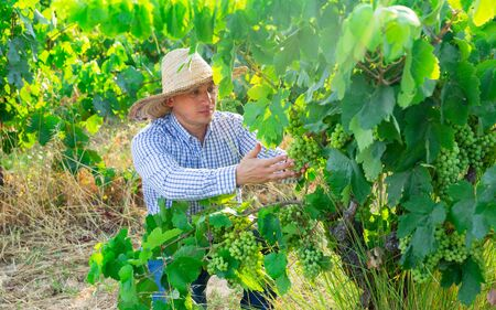 Portrait of male farmer in hat working with grapes in vineyard at summertime