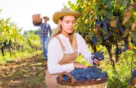 Successful female owner of vineyard gathering harvest of ripe purple grapes on sunny day