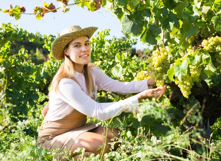 Young attractive woman farmer harvesting ripe white grapes in sunny vineyard Stock Photo - 128896909