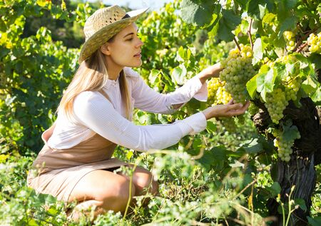 Successful female owner of vineyard gathering harvest of ripe white grapes on sunny day Stock Photo