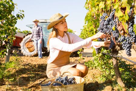 Young attractive woman farmer harvesting ripe blue grapes in sunny vineyard